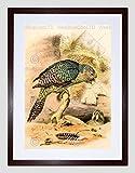 PAINTING ANIMAL BIRD HULLMANDEL KAKAPO OWL PARROT FRAMED ART PRINT B12X12829