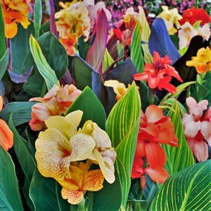 - 5 Tropical Mix Collection - Tall Canna - Bulbs/Roots/Rhizomes/ Tubers/Plants