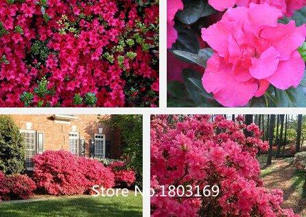 10 colores Rododendro semillas en macetas semillas del árbol de la azalea biji, variedades completa 200 partículas / bolsa de la planta Bonsai Garden SVI