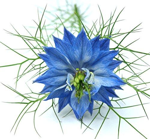 Love in a Mist - Blue Nigella - Easy to Grow