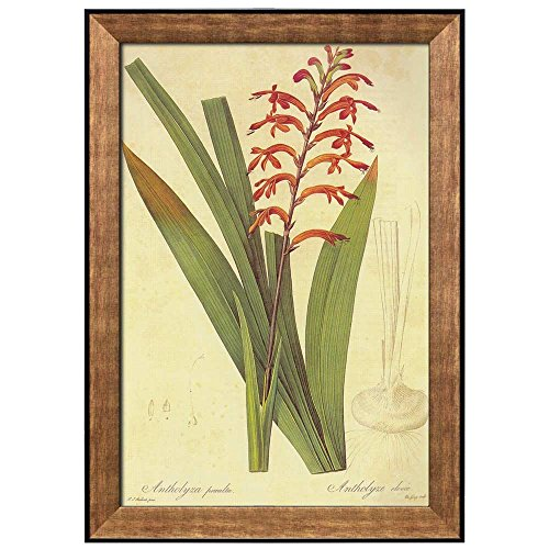 Scientific Illustration of a Flower Inside of a Beautiful Frame Chasmanthe Aethiopica by Pierre Joseph Redoute Framed Art
