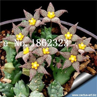 Pinkdose Sale! 200 pcs/Bag Mini Succulent Seeds Lithops Seeds,Potted Plants Perennial suculentas Cactus Seeds Planta Absorb Radiation: 3