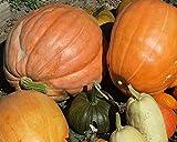 Heirloom Atlantic Giant Pumpkin Seeds