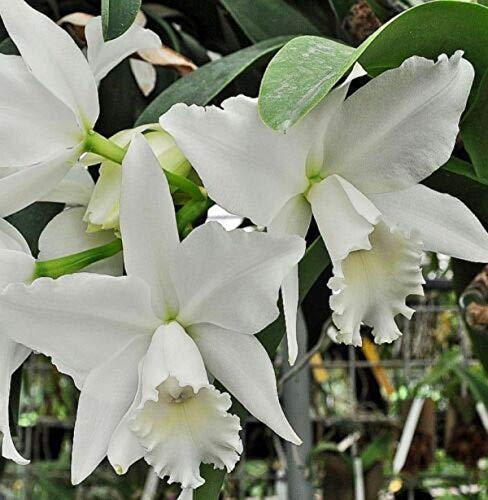 Fragrant ~ Cattleya Orchid ~ C. Hawaiian Wedding Song 'Virgin'