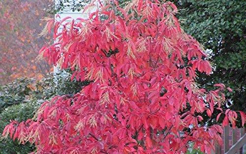 Sourwood Trees (Sourwood tree (Oxydendrum arboreum 3 feet tall)
