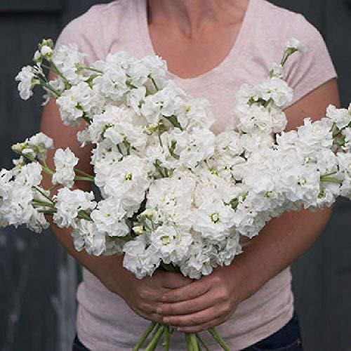 - David's Garden Seeds Flower Stock Katz White SL5748 (White) 100 Non-GMO, Open Pollinated Seeds