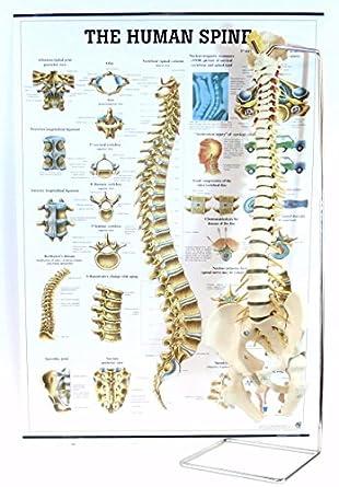 human vertebral column spine w femur heads and the human spine
