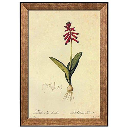 Scientific Illustration of a Flower Inside of a Beautiful Frame Lachenalia Bulbifera by Pierre Joseph Redoute Framed Art