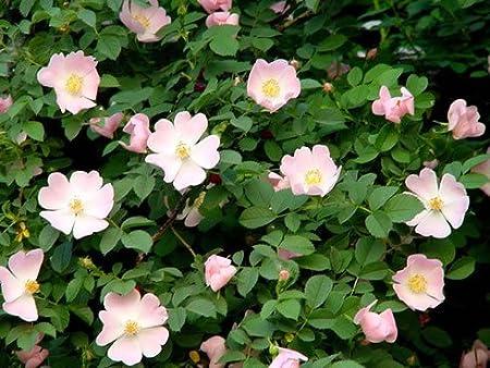 25 Rosa canina Seeds Dog Rose Seeds.