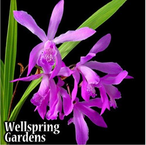 Ground Orchid - Bletilla Striata Big Bob Zone 5 VERY HARDY LIVE PLANT