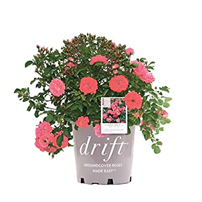 Star Roses Drift Series 19677 Coral Drift Rose, 19cm : Garden & Outdoor