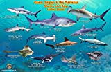 Guam, Saipan & The Marianas Sharks & Rays Franko Maps Laminated Fish Card
