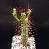 Euphorbia enopla Cactus Cacti Succulent Real Live Plant