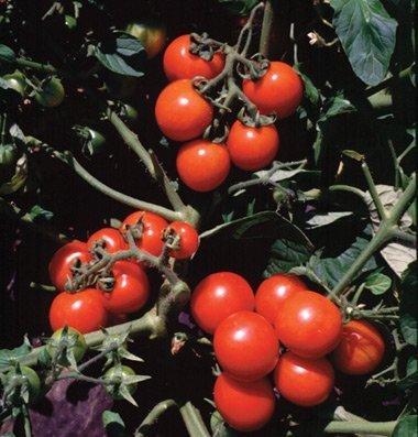 David's Garden Seeds Tomato Cherry Washington D764 (Red) 100 Organic Seeds