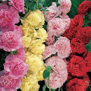 Hollyhock Summer Carnival Alcea Rosea, Big Gracious 4″ Double Blooms, Perennial, Sow in Spring or Fall, 20 Seed