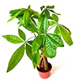 "9GreenBox - 5 Money Tree Plants Braided into 1 Tree - 4"" Pot"