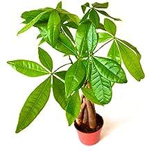 "9GreenBox - 5 Money Tree Plants Braided into 1 Tree - 4"" Pot"