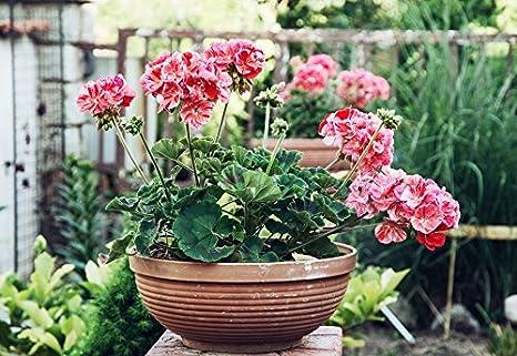"Pelargonium /""Raspberry Ripple/"" 6 seeds pink-orange with red dots;"