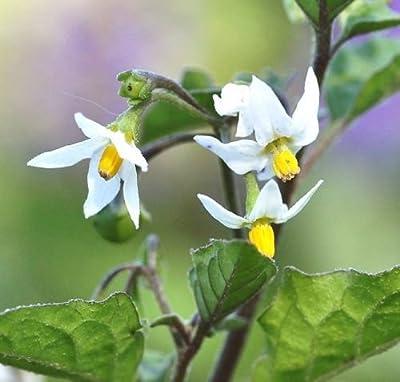 black nightshade Solanum Nigrum garden huckleberry hierba mora seed 100 seeds