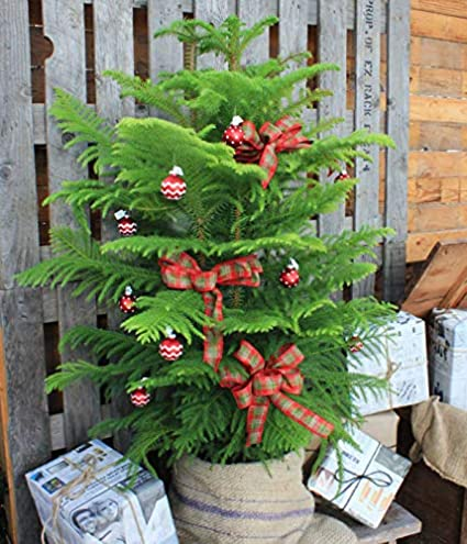 Plantazee Live Xmas Pine Tree Perfect For Indoor And Outdoor Holiday