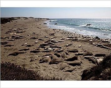 photographic print of piedras blancas elephant seal rookery san