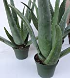 "Shop Succulents 3 Mature Aloe Vera Plants 4"" Pot"