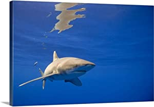 "GREATBIGCANVAS Hawaii, Big Island, Underwater View of Oceanic White Tip Shark Canvas Wall Art Print, 48""x32""x1.5"""