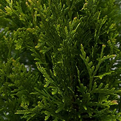 Plants by Mail Green 2.5 Qt Giant Arborvitae | Fast Growing Evergreen Tree-18-24 H : Garden & Outdoor