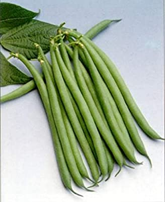 Haricot Verts Petite Filet- Green Bean Seeds- 30+ Seeds by Ohio Heirloom Seeds