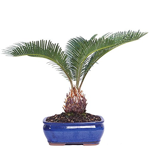 Palm Bent Tree - Brussel's Live Sego Palm Indoor Bonsai Tree - 7 Years Old; 8