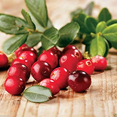 American Cranberry seeds - Vaccinium macrocarpon - used in a variety of sauces (300 Seeds) : Garden & Outdoor