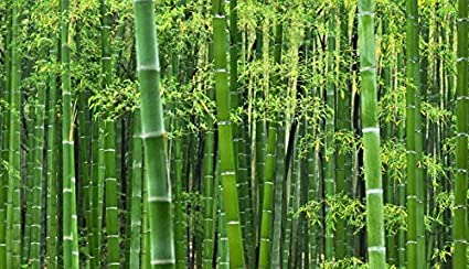 Creative Farmer Giant Thorny Bamboo Seeds (Pack of 50 Seeds)