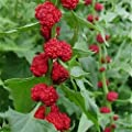 Strawberry Spinach-Chenopodium Foliosum- 100 seeds -