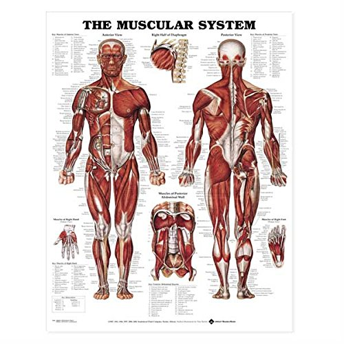 (The Muscular System Anatomical Chart)