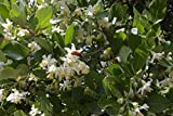 1 oz Seeds (Approx 70 Seeds) of Styrax officinalis, Snowdrop Bush