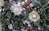 Nananthus vittatus rare living stone cacti mesembs rock plant ice seed 50 SEEDS