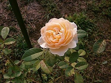 Home Comforts Framed Art For Your Wall Cream Color Rose Garden Rose 10x13  Frame