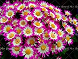 Shopmeeko 100PCS True Mixed Color Cineraria Plant, Potted Pericallis hybrida Plant, Bonsai Flower Plant for Balcony Garden Plant: 14