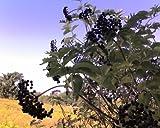 """4 Black Elderberry (Sambucus canadensis) 6-12"""" seedlings"""
