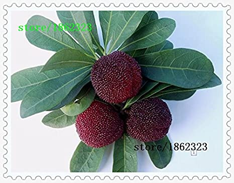 10 PC / paquete, semillas madroño semillas Myrica rubra semillas de arrayán rojo madroño perennes sabor árbol de fruta dulce