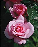 "Parade Berna Miniature Rose Bush - Fragrant/Hardy - 4"" Pot"