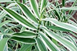 "Peppermint Stick Giant Reed Ornamental Grass Plant - Arundo Donax - 4"" Pot"