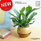 LAND PLANTS 【観葉植物】 コウモリラン (ツートンボールポット)