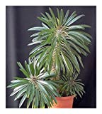 Pachypodium lamerei - Madagascar palm - 5 seeds