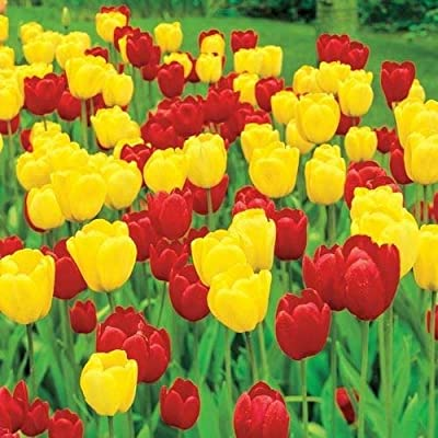 Grandiosy Tulip (Bulbs) Single Late Flowering (Red and Gold Blend, 3 Bulbs), Ready Product from Grandiosy Farmer : Garden & Outdoor