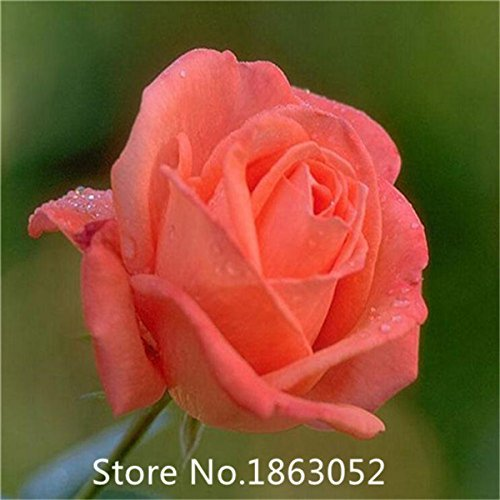 Promotion Wholesale (Garden Plant Promotion! (Wholesales) 100 seeds / pack, LOVE IN ROSE RARE ROSE BUSH RED WHITE TEA ROSE)