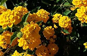 "10 Plants..Lantana ""Gold Mound""; Golden Yellow; Flowering Plant Bush LIVE POTTED"
