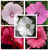 Rose Mallow Lavatera Trimestris Mix 250 seeds