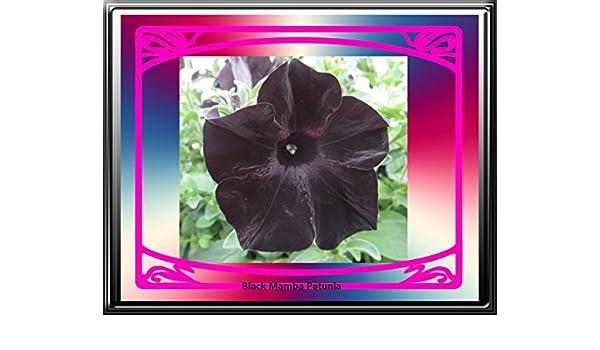 Black Mamba Petunia 2018 The Magic of Nature (English Edition ...