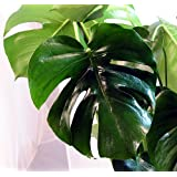 "Split Leaf Philodendron 6"" Pot - Monstera - Edible Fruit tastes like Pineapple"